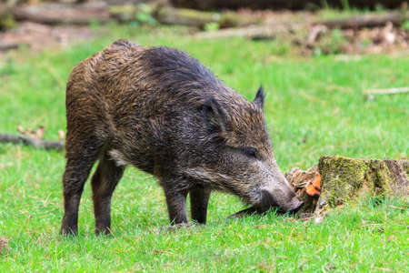scrofa: Young wild boar  Sus scrofa  in national park  Het Aardhuis  at the  Hoge Veluwe  in the Netherlands