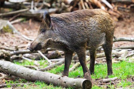 veluwe: Young wild boar  Sus scrofa  in national park  Het Aardhuis  at the  Hoge Veluwe  in the Netherlands