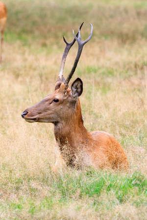 veluwe: Beautiful deer  Cervus elaphus  in national park  Het Aardhuis  at the  Hoge Veluwe  in the Netherlands