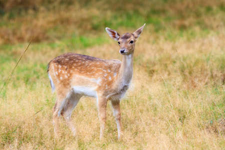 Beautiful fawn  Cervus elaphus  in national park  Het Aardhuis  at the  Hoge Veluwe  in the Netherlands photo