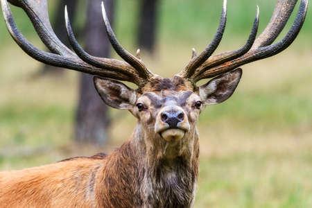 elaphus: Beautiful deer  Cervus elaphus  in national park  Het Aardhuis  at the  Hoge Veluwe  in the Netherlands