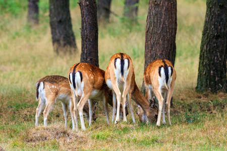 baby ass: Does  Cervus elaphus  from behind in national park  Het Aardhuis  at the  Hoge Veluwe  in the Netherlands