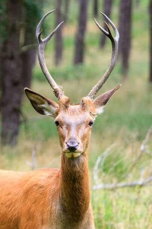 cervus elaphus: Beautiful deer  Cervus elaphus  in national park  Het Aardhuis  at the  Hoge Veluwe  in the Netherlands