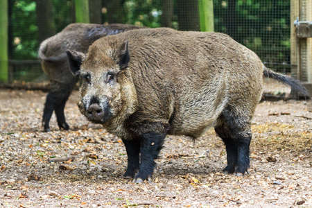 veluwe: Wild boar  Sus scrofa  in national park  Het Aardhuis  at the  Hoge Veluwe  in the Netherlands Stock Photo