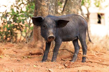 scrofa: Cute black pig  Sus Scrofa  in Madagascar Stock Photo