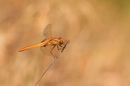 crocothemis: The Scarlet Dragonfly  Crocothemis erythraea    Its common names include Broad Scarlet, Common Scarlet-darter and Scarlet Darter
