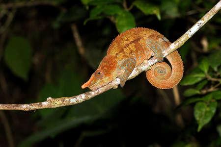 cryptic: Beautiful Cryptic or blue-legged Chameleon  Calumma crypticum  at night in Ranomafana national park, Madagascar Stock Photo