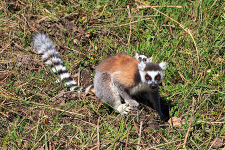 anja: Ring-tailed Lemur  Lemur catta  with baby in Anja reserve national park in Madagascar Stock Photo