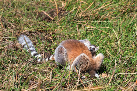 Ring-tailed Lemur  Lemur catta  with baby in Anja reserve national park in Madagascar Stock Photo