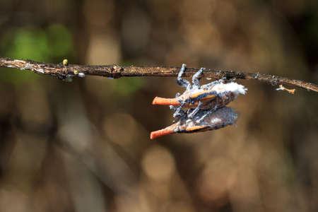 Some sort of beautiful orange Lantern bugs in Anja reserve, Madagascar