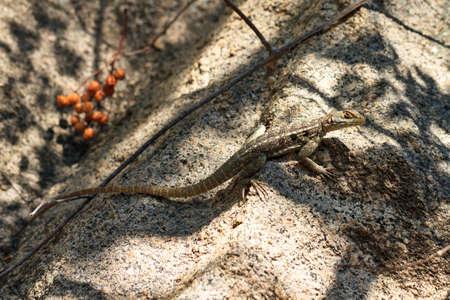 anja: Chalarodon lizard, Chalarodon madagascariensis, in Madagascar