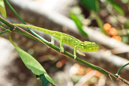 Beautiful camouflaged chameleon in Madagascar, presumably the Oustalet s or Malagasy giant chameleon  Furcifer oustaleti