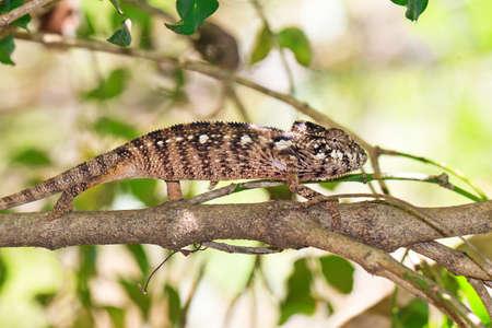 Beautiful camouflaged chameleon in Madagascar, presumably the Oustalets or Malagasy giant chameleon (Furcifer oustaleti)