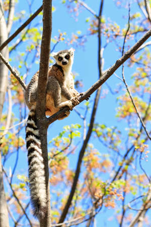anja: Ring-tailed Lemur (Lemur catta) in Anja reserve national park in Madagascar Stock Photo