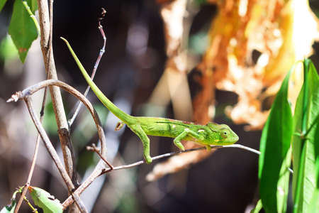 anja: Beautiful camouflaged chameleon in Madagascar, presumably the Oustalets or Malagasy giant chameleon (Furcifer oustaleti)