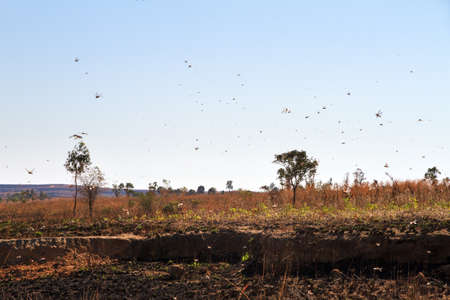 A lot of locusts in the air in Isalo Madagascar. Locust are a yearly pest in many countries Stock Photo