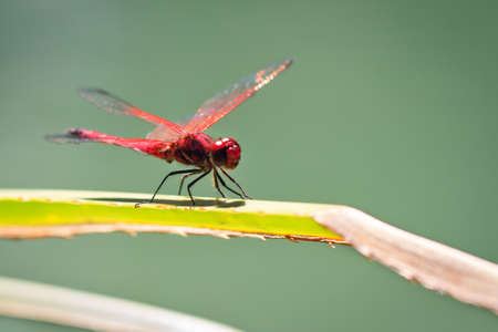 dropwing: The Violet Dropwing, Trithemis annulata, in Isalo national park, Madagascar