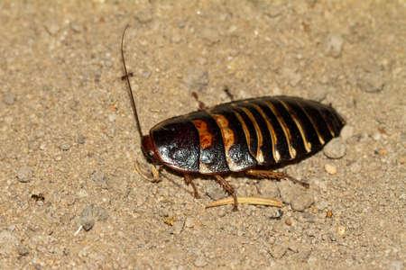 hissing: Probabilmente il Madagascar sibilo scarafaggio (Gromphadorhina portentosa) in Isalo, Madagascar