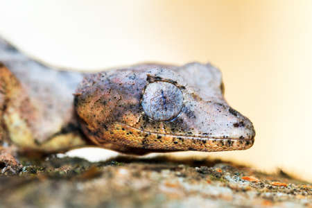 Satanic Leaf Tailed Gecko (Uroplatus phantasticus) camouflaged on a tree in Madagascar photo