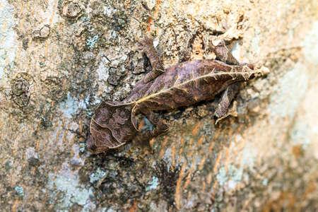 satanic: Satanic Leaf Tailed Gecko (Uroplatus phantasticus) camouflaged on a tree in Madagascar Stock Photo