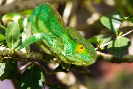 Beautiful camouflaged chameleon in Madagascar, presumably the Parsons chameleon (Calumma parsonii) photo