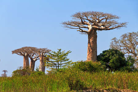 alley of baobabs: Beautiful Baobab trees in the landscape of Madagascar Stock Photo