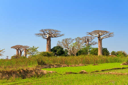 Beautiful Baobab trees in the landscape of Madagascar Stock Photo