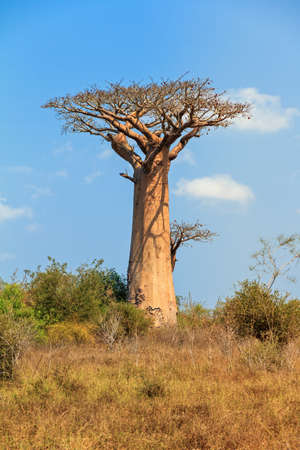 alley of the baobabs: Beautiful Baobab tree in the landscape of Madagascar Stock Photo