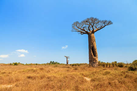 alley of baobabs: Beautiful Baobab tree in the landscape of Madagascar Stock Photo