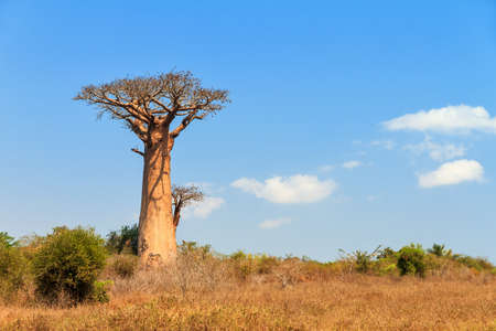 Beautiful Baobab tree in the landscape of Madagascar Stock Photo