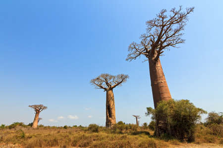 alley of the baobabs: Beautiful Baobab trees in the wide landscape of Madagascar