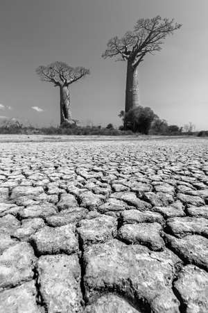 Beautiful Baobab trees in the barren desert landscape of Madagascar