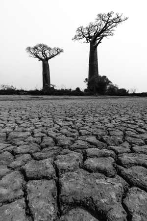 alley of baobabs: Beautiful Baobab trees in the barren desert landscape of Madagascar