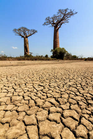 alley of the baobabs: Beautiful Baobab trees in the barren desert landscape of Madagascar