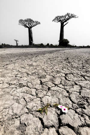alley of the baobabs: Beautiful Baobab trees in the barren desert landscape of Madagascar with a flower in color