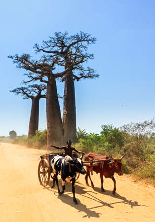 Very typical image of a Malagasy man with his Zebu car on the road with Baobab trees near Morondava, Madagascar, on September 13, 2013
