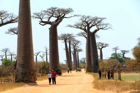 alley of baobabs: Tourists visit the beautiful Baobab trees at the avenue of the baobabs near Morondava in Madagascar, on September 13, 2013