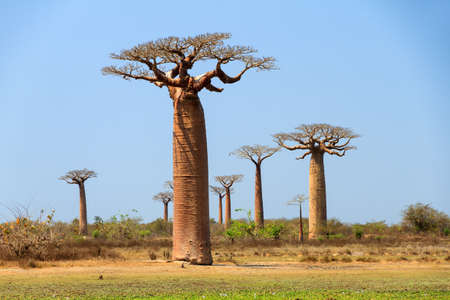 alley of the baobabs: Beautiful Baobab trees at the avenue of the baobabs in Madagascar Stock Photo
