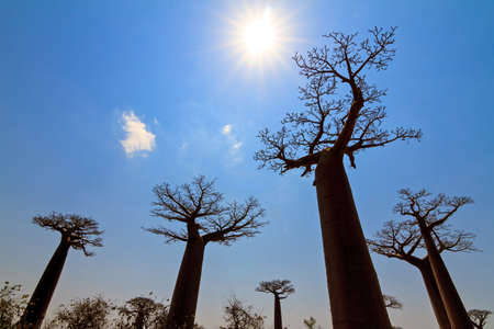 Beautiful backlit Baobab trees at the avenue of the baobabs in Madagascar