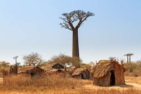 alley of the baobabs: Beautiful Baobab trees and traditional houses at the avenue of the baobabs in Madagascar