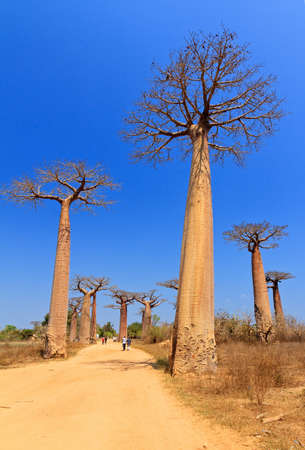 Beautiful Baobab trees at the avenue of the baobabs in Madagascar Stock Photo