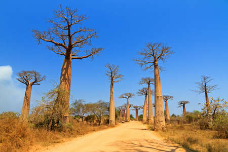 Beautiful Baobab trees at the avenue of the baobabs in Madagascar photo