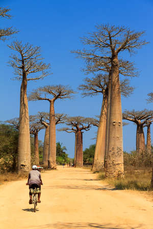 alley of baobabs: A malagasy local on a bicycle on the avenue of the baobabs in Madagascar Stock Photo