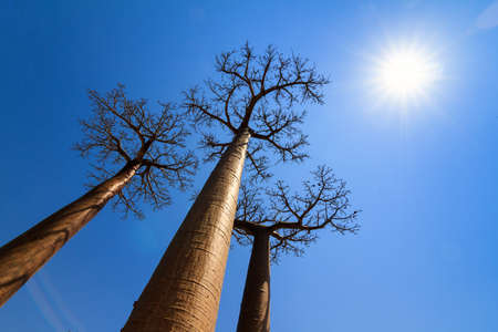 alley of the baobabs: Beautiful backlit Baobab trees at the avenue of the baobabs in Madagascar