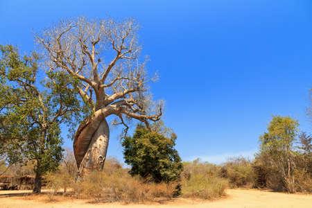 adansonia: The famous Baobab Amoreux, a twisted Baobab in Madagascar