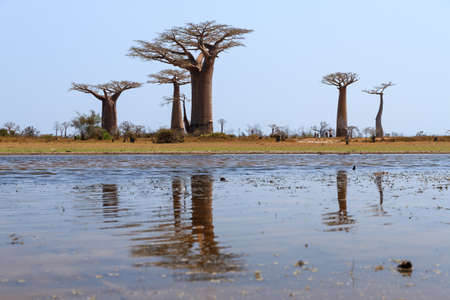 alley of baobabs: Beautiful Baobab trees in the landscape of Madagascar reflected in a pond Stock Photo