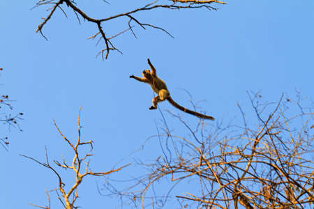 The red-fronted lemur (Eulemur rufifrons) flying through the sky in Kirindy Mitea National Park, in Madagascar
