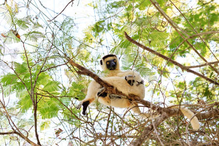 Verreaux s sifaka (Propithecus verreauxi), or the white sifaka, with baby in Kirindy Mitea National Park, Madagascar