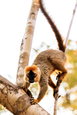 The red-fronted lemur (Eulemur rufifrons), also known as the red-fronted brown lemur in the Kirindy Mitea National Park, in Madagascar