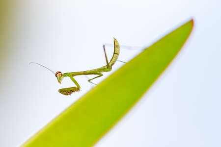 mantodea: Beautiful small praying mantis (order Mantodea) in the Tsingy de Bemaraha Strict Nature Reserve in Madagascar Stock Photo